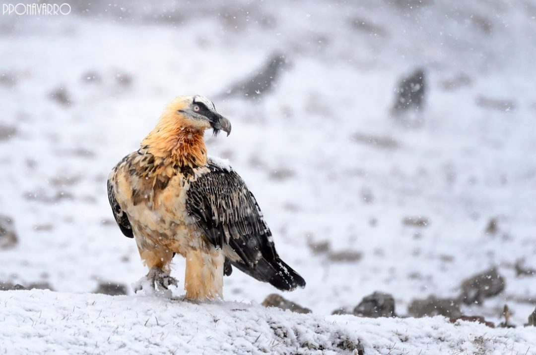 Trencalòs posat a la neu